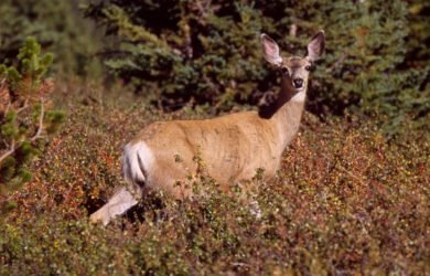 Mule-Deer-Meadow