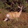 Mule-Deer-Meadow